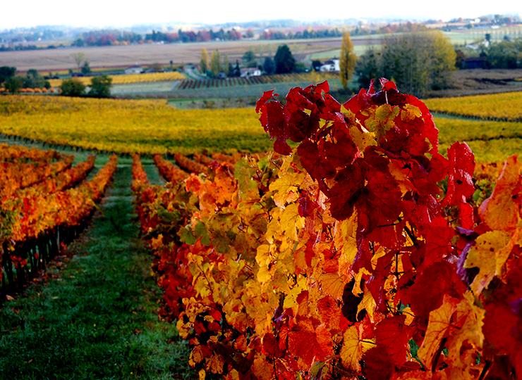 L'Abouriou est reconnaissable par le joli contraste entre ces grappes d'un noir bleuté et ses feuilles rouge à l'automne.