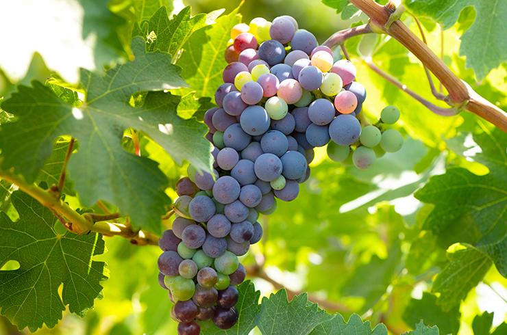 Le cabernet franc et le cabernet sauvignon font partie des cépages régionaux de l'AOC Côtes du Marmandais