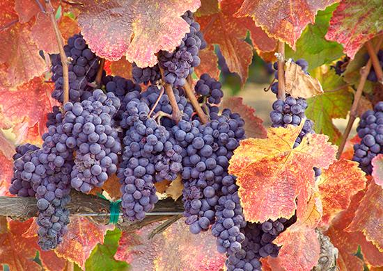 L'Abouriou est le cépage phare des appellations Côtes du Marmandais, rétabli dans les vignes par les vignerons