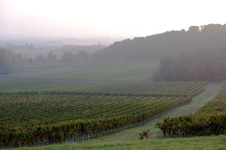Les vignes de l'AOC Côtes du Marmandais au petit matin