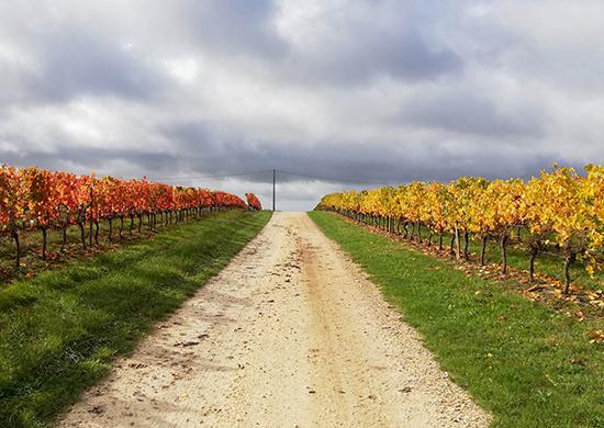 Dans les vignes de l'AOC Côtes du Marmandais, l'Abouriou est le premier à se parer de rouge en Automne